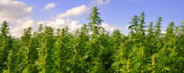 hemp-field-small